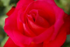 Rose_kosai